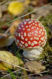 red fly agaric