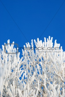rime on the branches of tree