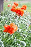 red poppy with many buttons