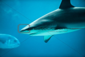 Caribbean Reef Shark and Fish in Deep Blue Sea Water