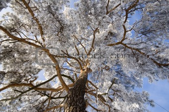 branch of a pine-tree under snow