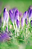 Crocus flowers in Springtime sunshine.
