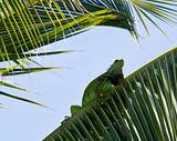 Iguana in palm tree