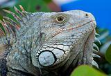 Eye of Iguana
