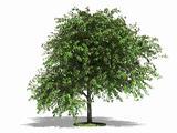 Cherry tree