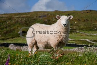 A sheep in Ireland