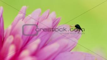 Little black beetle