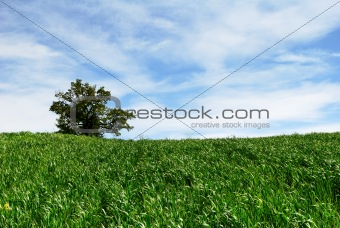 Green wheat cultivation