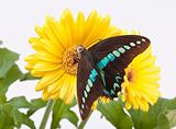 Graphium Milon Swallowtail Butterfly