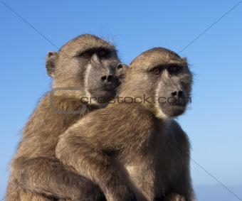 Two Baboons Together