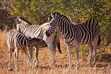 Baby Zebra Nursing