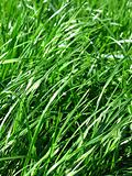 fresh grass background
