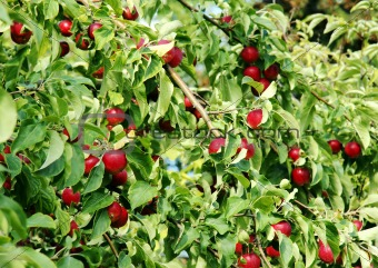 Branches full of red apples