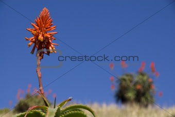 Aloe plant on hill top on a sunny day in south africa