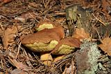 Polish mushroom in the forest (Xerocomus badius)