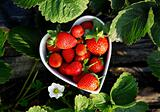 Fresh picked strawberries in heart shape bowl