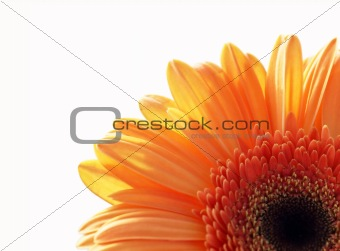 fragment of gerber daisy flower