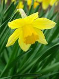 flowering daffodil