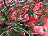 Pink Dogwood Tree Blooms at the Height of Springtime