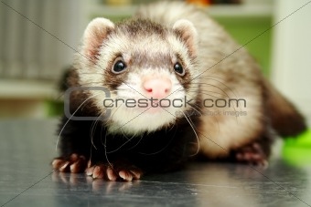 Close-up of ferret, 3 years old, on the iron table