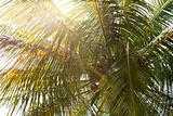 coconut tree with the sun