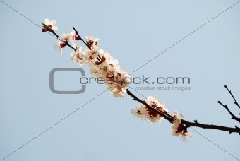 Blossoming branch apricots