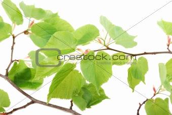 Green leaflets