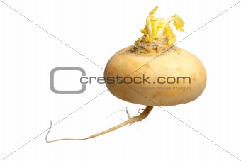 One ripe yellow radish root  with green sprout isolated