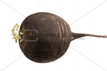 One ripe black radish root  with green sprout isolated