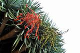 Flora of Madeira - Dragon tree,  Dracaena draco