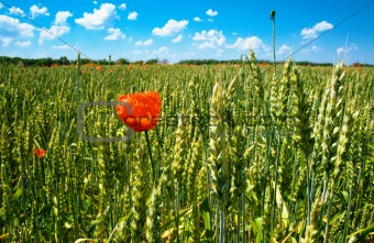 poppy on wheat field