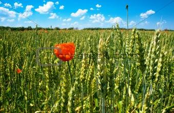 poppy on wheat field