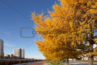 City landscape with yellow larchs