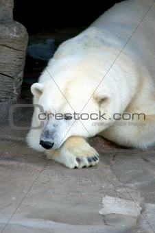 Sleeping Ice Bear