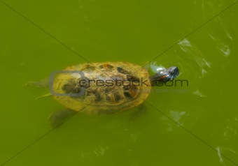 Small turtle in the water