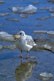 Small sea gull with piece of bread at the beak