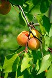Branch with some ripe Apricots