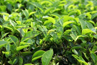 Background of the young green tea leaves