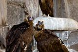 black vulture couple - rock background