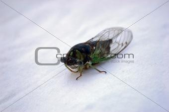 Cicada White Background