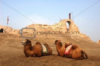 Camels at the relics of an ancient castle