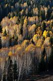 Golden forest in autumn
