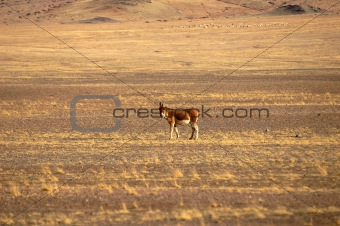 Wild donkey in Tibet