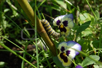 monarch caterpillar and pansy flowers