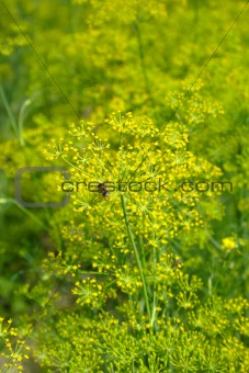 Blooming fennel in a garden