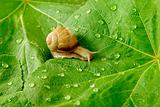 snail and water drops on green leaves
