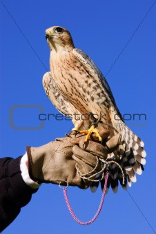 Peregrine Falcon cross