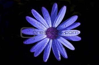Blue Celendine