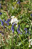 Rare white bluebell