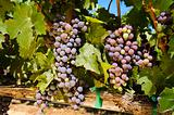 vinyard, grapes, crop, agriculture, viniculture, napa, valley,